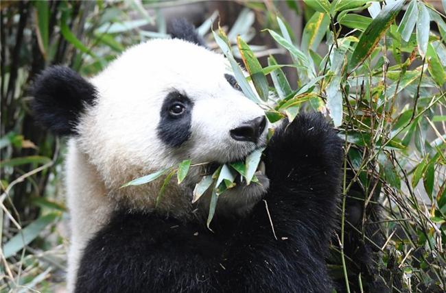 成都大熊猫冬日卖萌