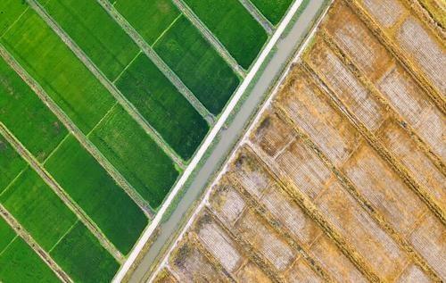 小麦稻谷价格均高于最低收购价 秋粮上市后市场如何变化